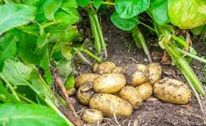 potato, eggs and leaves