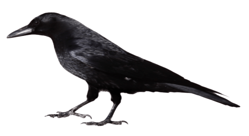 The black unhappy crow standing