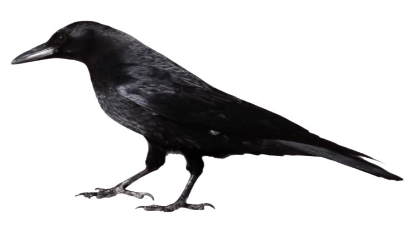 The unhappy Crow